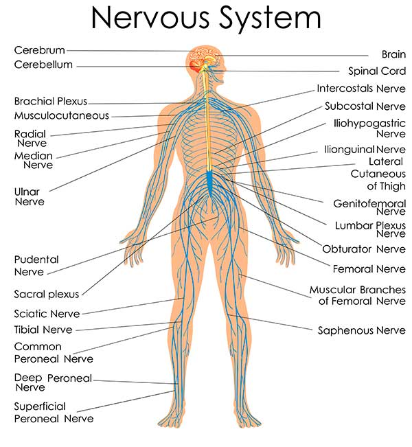 Understanding the Nervous System